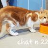 Chat n 22, Chaton europeen à adopter