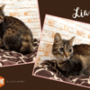 Lia (réservée), Chat europeen à adopter