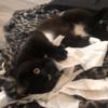 Hubert, Chat europeen à adopter