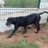 Scooby, Chiot croisé / autre (labrador (retriever)/ golden retriever) à adopter