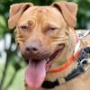 Rita, Chiot croisé / autre (labrador (retriever)/ staffordshire bull terrier) à adopter