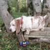 Bignou paa17989, Chien basset hound à adopter