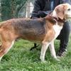 Soprano, Chien beagle à adopter