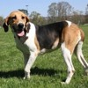 Maple, Chien beagle à adopter