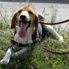 Xerox, Chien beagle à adopter