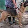 Banjo, Chien berger allemand à adopter