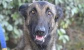 Gum s, Chien berger belge malinois à adopter