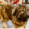 Maska, Chien berger du caucase à adopter