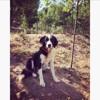 Lola (bastia) , Chien border collie à adopter