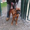Flash, Chien boxer à adopter