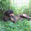 Jolie coeur, Chien cane corso à adopter