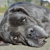 Ganya chao7148, Chien cane corso à adopter