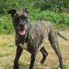 Estia vaa19771, Chien cane corso à adopter