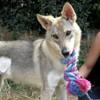 In parigi, Chiot chien loup tcheque à adopter