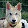 Bogoss, Chien chien loup tcheque à adopter