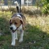 Helios, Chien croisé / autre (beagle) à adopter