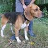 Potter, Chien croisé / autre (beagle) à adopter