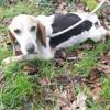 Girly, Chien croisé / autre (beagle) à adopter