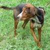 Bella, Chien croisé / autre (beagle/ berger) à adopter