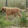 Phoenix, Chien croisé / autre (berger) à adopter