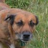 Tyson, Chien croisé / autre (berger) à adopter