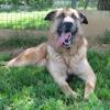 Simbad, Chien croisé / autre (berger allemand) à adopter