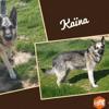 Kaïna (réservée), Chien croisé / autre (berger allemand) à adopter