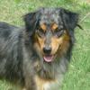 Jackson, Chien croisé / autre (berger australien d'amerique) à adopter