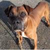 Rex, Chien croisé / autre (boxer) à adopter