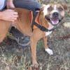 Staffi, Chien croisé / autre (boxer/ beagle) à adopter