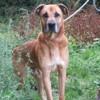 Tigrou, Chien croisé / autre (boxer/ berger) à adopter