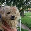 Roxy, Chien croisé / autre (caniche moyen) à adopter