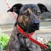 Jorky, Chien croisé / autre (chien corse) à adopter