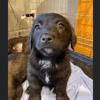 Neru, Chiot croisé / autre (chien corse) à adopter