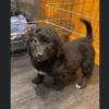 Choupette, Chiot croisé / autre (chien corse) à adopter
