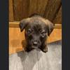 Paco, Chiot croisé / autre (chien corse) à adopter