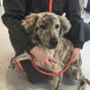 Djago, Chien croisé / autre (chien corse) à adopter