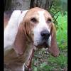 Paa16034 flopy, Chien croisé / autre (chien d'artois) à adopter