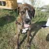 Tayler, Chien croisé / autre (dogue allemand) à adopter