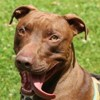 Chewbaka oaa16441, Chien croisé / autre (dogue argentin) à adopter
