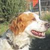 Talgo, Chien croisé / autre (epagneul breton) à adopter