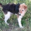 Milou, Chien croisé / autre (fox terrier poil dur) à adopter