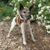 Dingo, Chien croisé / autre (fox terrier poil dur) à adopter