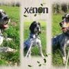Xenon, Chien croisé / autre (griffon bleu de gascogne) à adopter