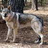 Inka, Chien croisé / autre (husky siberien) à adopter