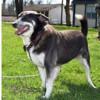 Tommy, Chien croisé / autre (husky siberien) à adopter