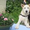 Igloo, Chien croisé / autre (husky siberien) à adopter