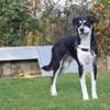 Drago, Chien croisé / autre (husky siberien/ berger) à adopter