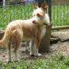 Heidi, Chien croisé / autre (jack russel terrier) à adopter