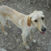 Sparky, Chien croisé / autre (labrador (retriever)) à adopter